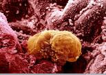 Ученные узнали почему иммунитет матери не отторгает эмбрион