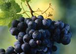 Виноград и его полезные свойства