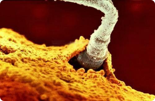 Развитие эмбриона от зачатия до рождения